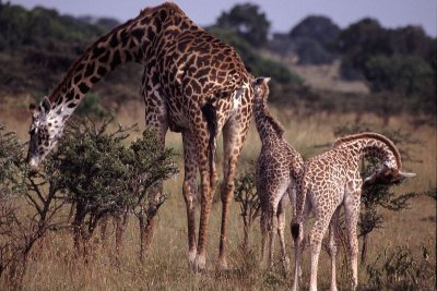 Adult and baby giraffes.jpg