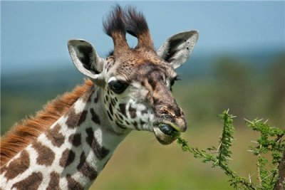 Giraffe eating leaves.jpg