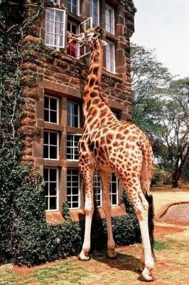Giraffe sticking head into second story window.jpg