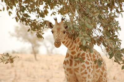 Single giraffe peeking through trees.jpg